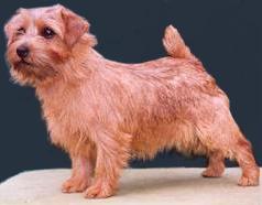 Norfolk Terrier: Allright Apple Charlotte