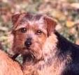 Norfolk Terrier: Allright Apple Pie