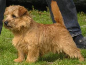 Norfolk Terrier: Allright Brown Bridget