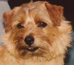 Norfolk Terrier: Allright Buttons