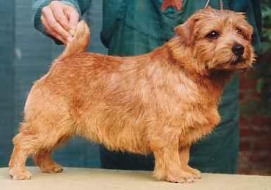 Norfolk Terrier: Allright Gimcrack