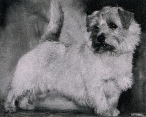 Norfolk Terrier: Allright Indian Magic