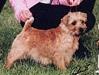 Norfolk Terrier: Allright Indian Summer