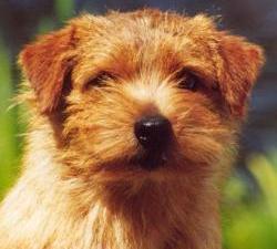 Norfolk Terrier: Allright Magic Dancer