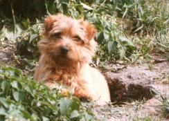 Norfolk Terrier: Allright Magic Goblin