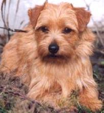 Norfolk Terrier: Allright Magic Jewel