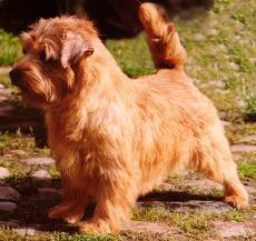 Norfolk Terrier: Allright Magic Tarragon