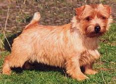 Norfolk Terrier: Allright Northern Dancer