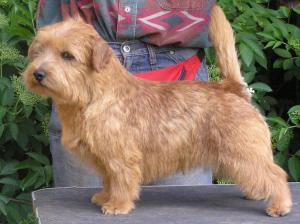 Norfolk Terrier: Allright Red Rum