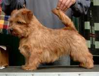 Norfolk Terrier: Allright Smart Amber