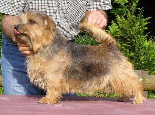 Norfolk Terrier: Allright Smart Jill