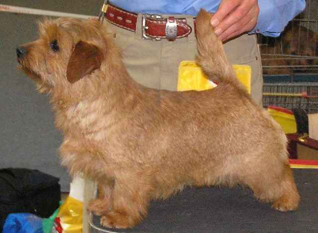 Norfolk Terrier: Allright Smart Wendy