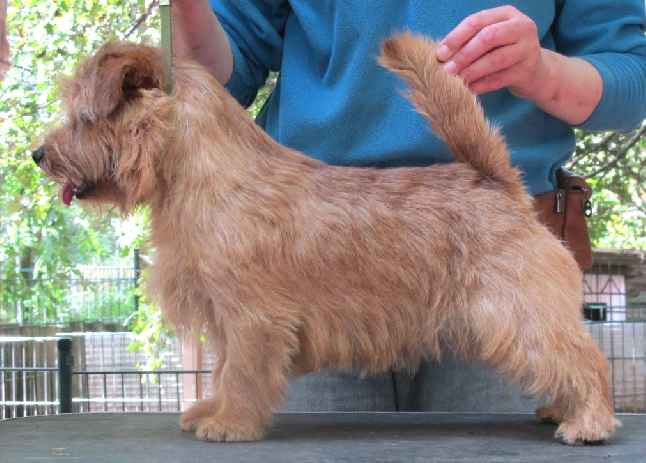 Norfolk Terrier: Allright Candy Cane