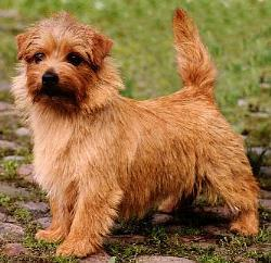 Norfolk Terrier: Allright Chocolate Chip