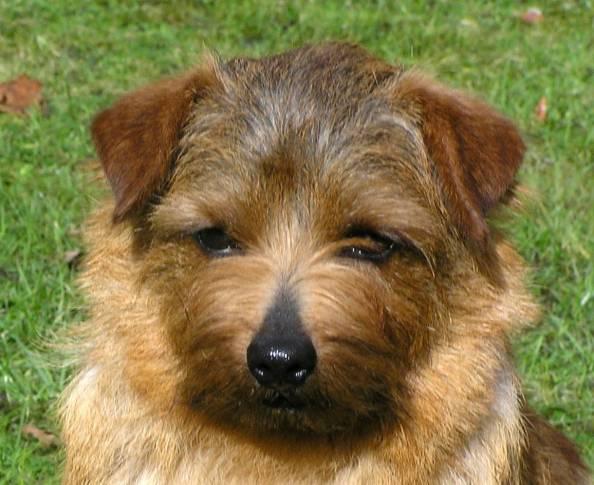 Norfolk Terrier: Allright Hot Chocolate