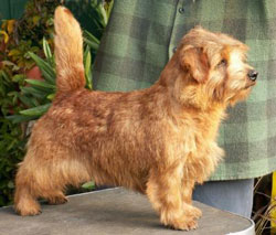 Norfolk Terrier: Allright Smart Jamie