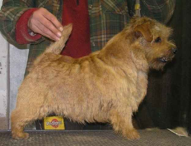 Norfolk Terrier: Allright Smart Sarah