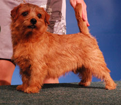 Norfolk Terrier: Allright Sweet Vasilisa