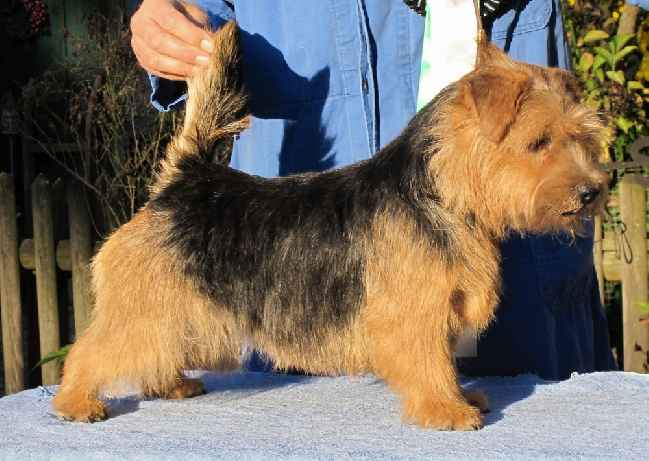 Norfolk Terrier: Allright The Lioness