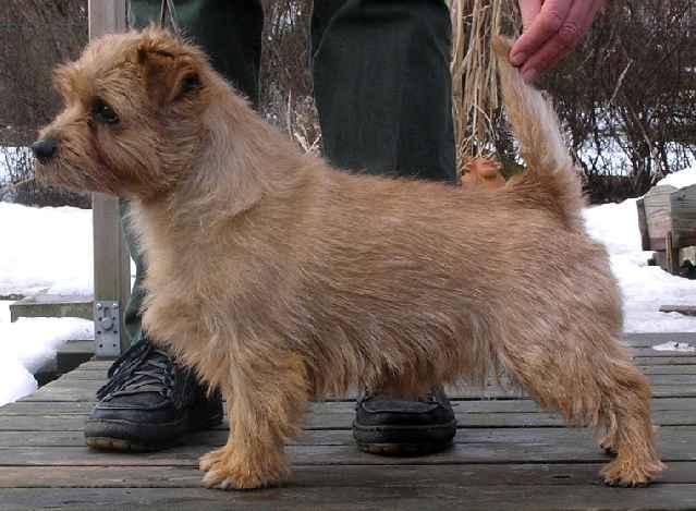 Norfolk Terrier: Allright Tom Fool