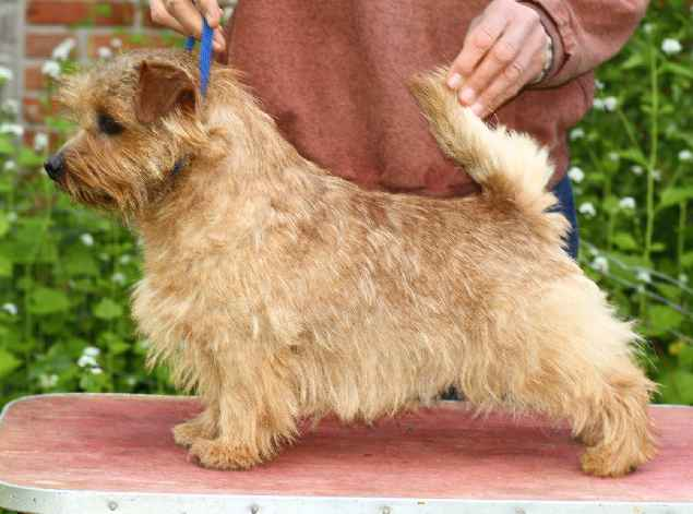 Norfolk Terrier: Allright Wild Thistle