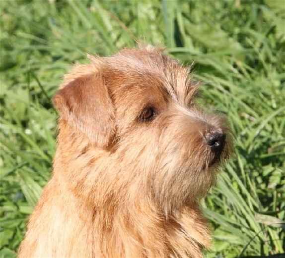 Norfolk Terrier: Alpha Red heaven