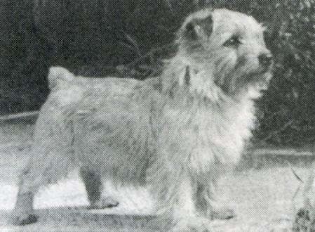 Norfolk Terrier: And Harry Of Titanium