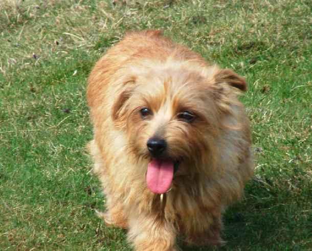 Norfolk Terrier: Belleville Morning Sun