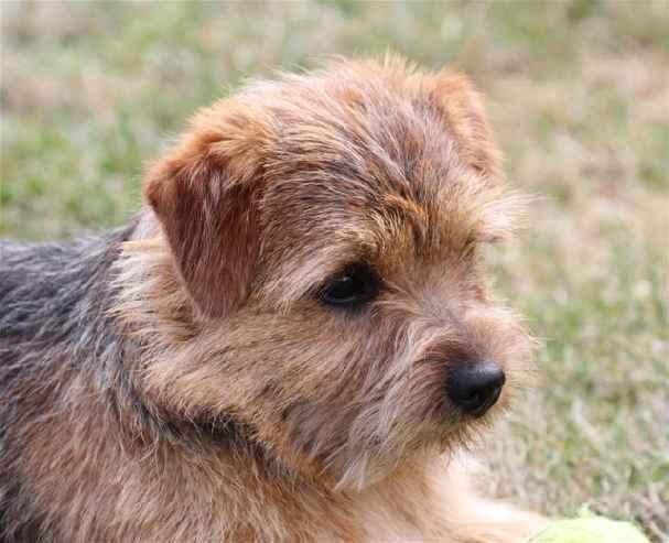Norfolk Terrier: Belleville Nutty Red heaven