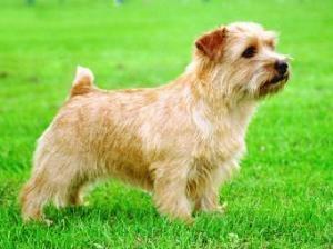 Norfolk Terrier: Belleville Star Struck