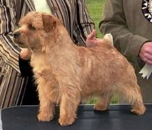 Norfolk Terrier: Belleville Thunder Struck