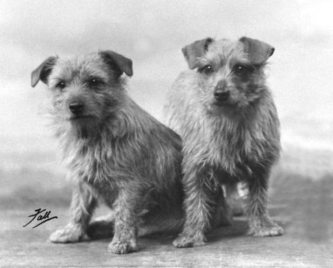 Norfolk Terrier: Biffin of Beaufin