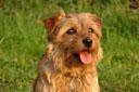 Norfolk Terrier: Brymarden Cast a Shadow