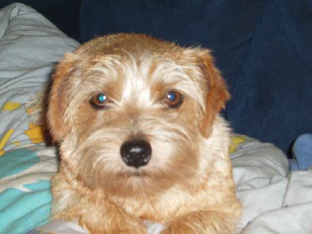 Norfolk Terrier: Catastrofe's Sunray