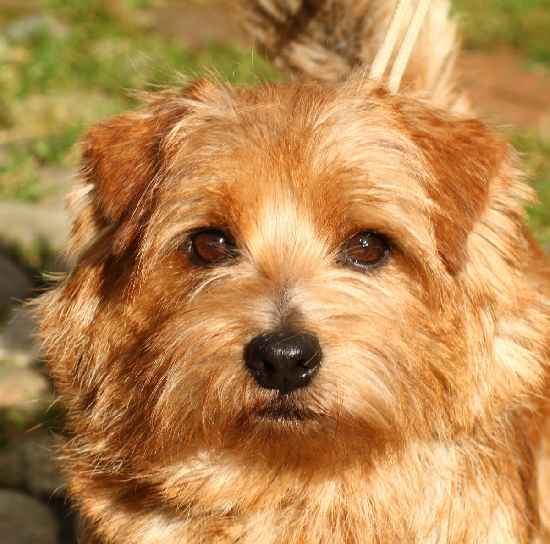 Norfolk Terrier: Charmonty Cherry Cake