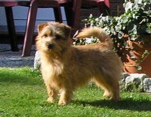 Norfolk Terrier: Charmonty Crispy Cracker