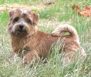 Norfolk Terrier: Charmonty Leonita