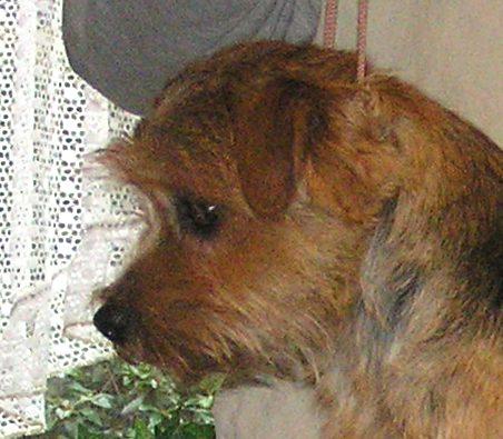 Norfolk Terrier: Charmonty Lucky Leo