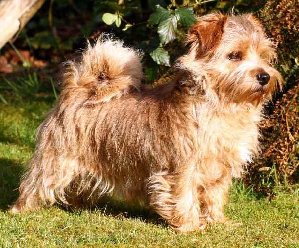 Norfolk Terrier: Charmonty Magic Sunshine