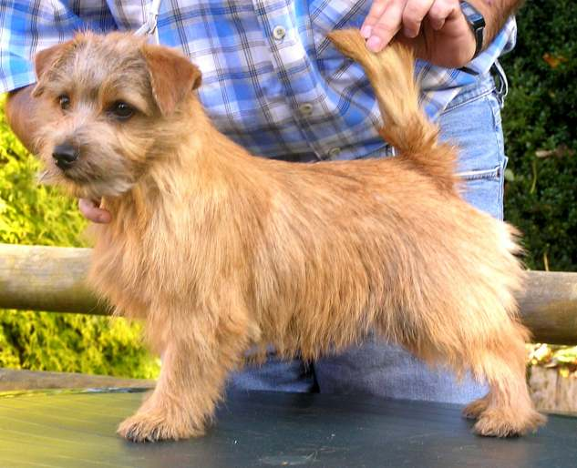 Norfolk Terrier: Charmonty Piccoletta
