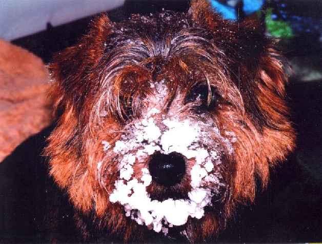 Norfolk Terrier: Charmonty Trixie Trouble