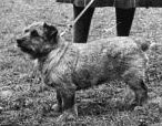 Norfolk Terrier: Colonsay Banston Belinda