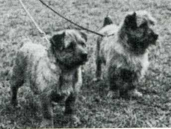 Norfolk Terrier: Colonsay Banston Belinda