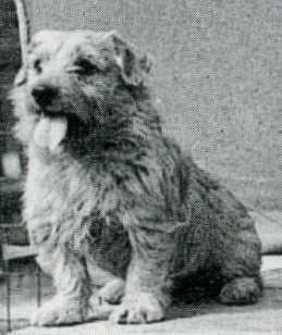 Norfolk Terrier: Colonsay Junior