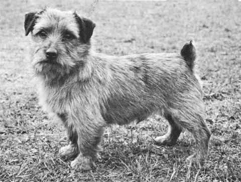 Norfolk Terrier: Colonsay Orderly Dog