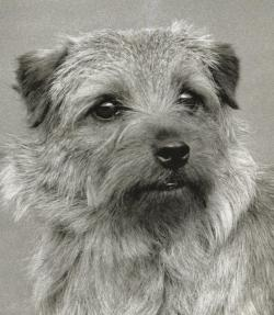 Norfolk Terrier: Cracknor Candidate