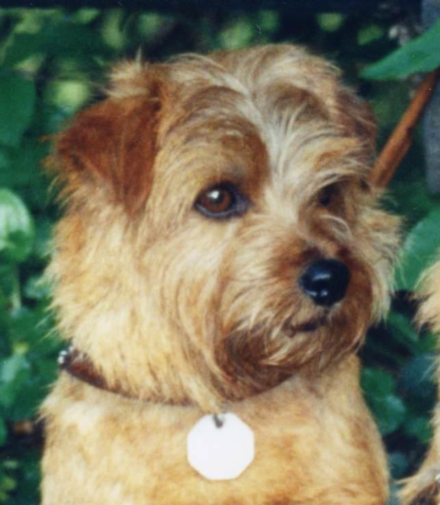 Norfolk Terrier: Dixy Sunshine Of Brigadoon