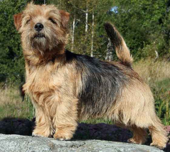 Norfolk Terrier: Easy Black Gold For Redriff