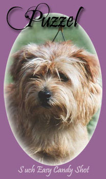 Norfolk Terrier: Easy Candy Shot