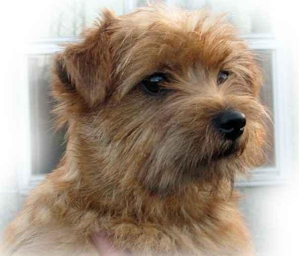 Norfolk Terrier: Gerfelli's Future Flame